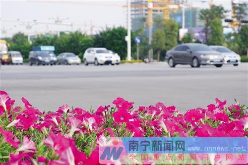 良庆区五象大道牵牛花盛开     摄 -中国 南宁图片